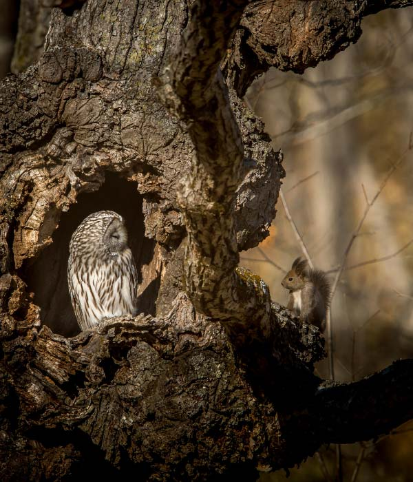 An owl in sitting in the hollow of the tree